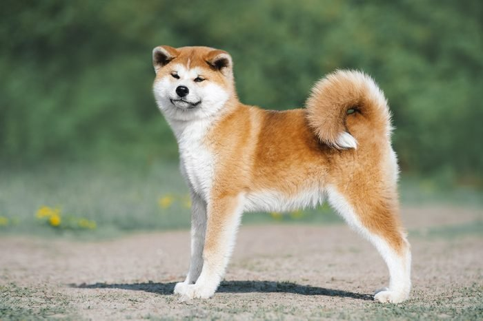Akita Inu puppy conformation. Red furry dog on a green background