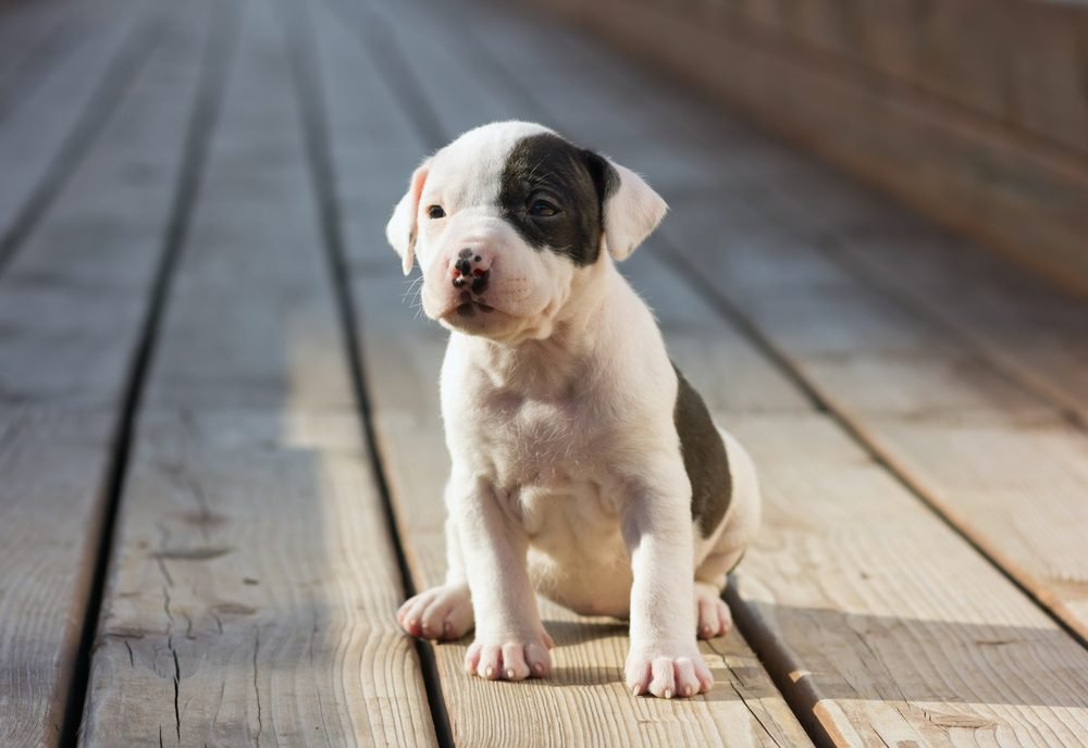 American Staffordshire terrier puppy sitting on wooden boards