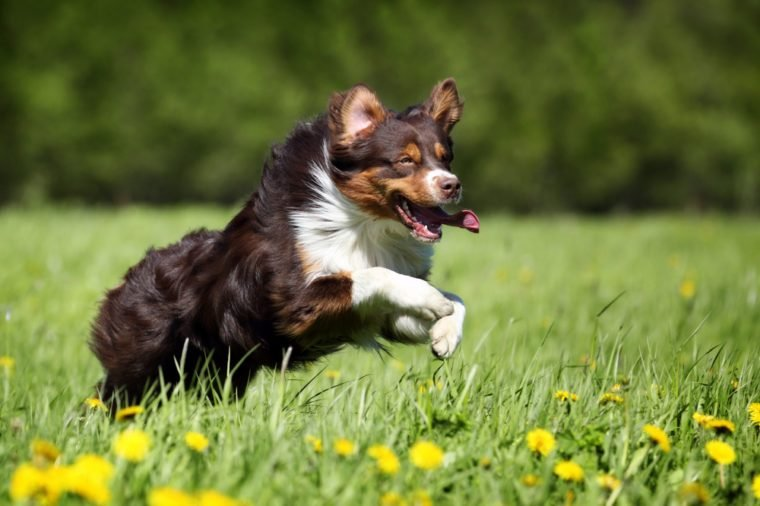 Australian Shepherd dog running in the grass