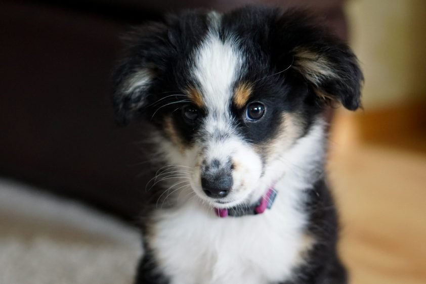 Miniature Australian Shepherd, Dog