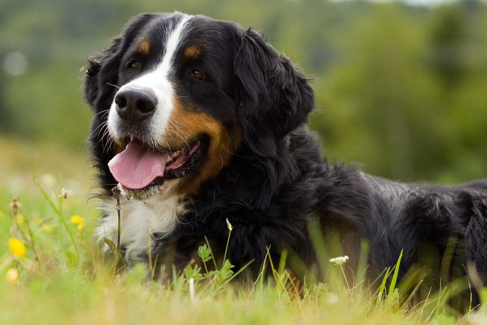 Dog - Bernese Mountain Dog is on the gras