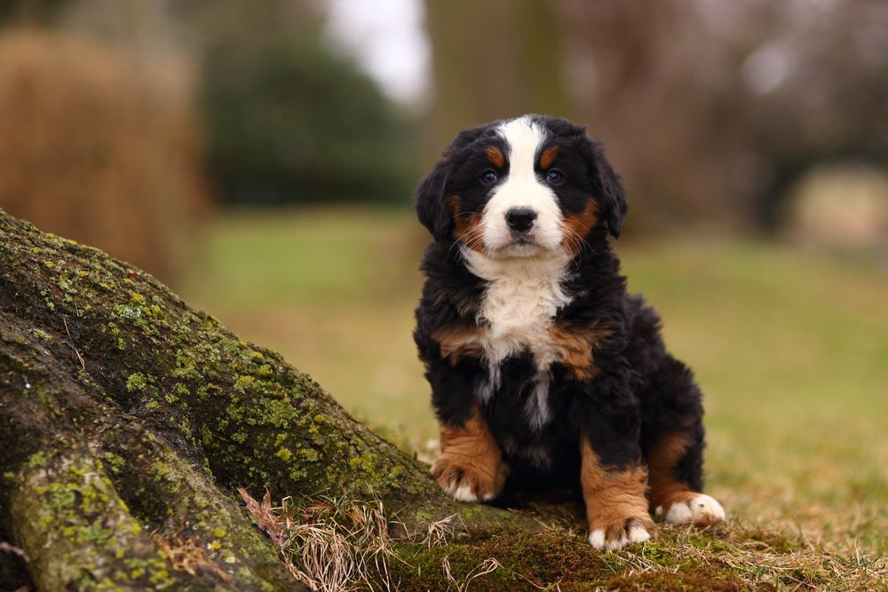 Bernese Mountain Dog puppy standing by an exposed moss covered tree root.
