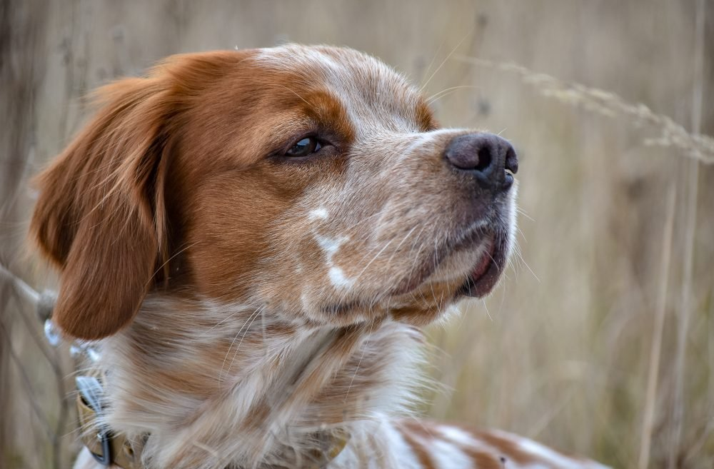 Beautiful dog. Portrait of hunting dog Epagneul Breton. Brittany Spaniel. Hunting season time.