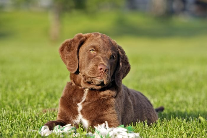 Chesapeake Bay Retriever puppy in grass, curious