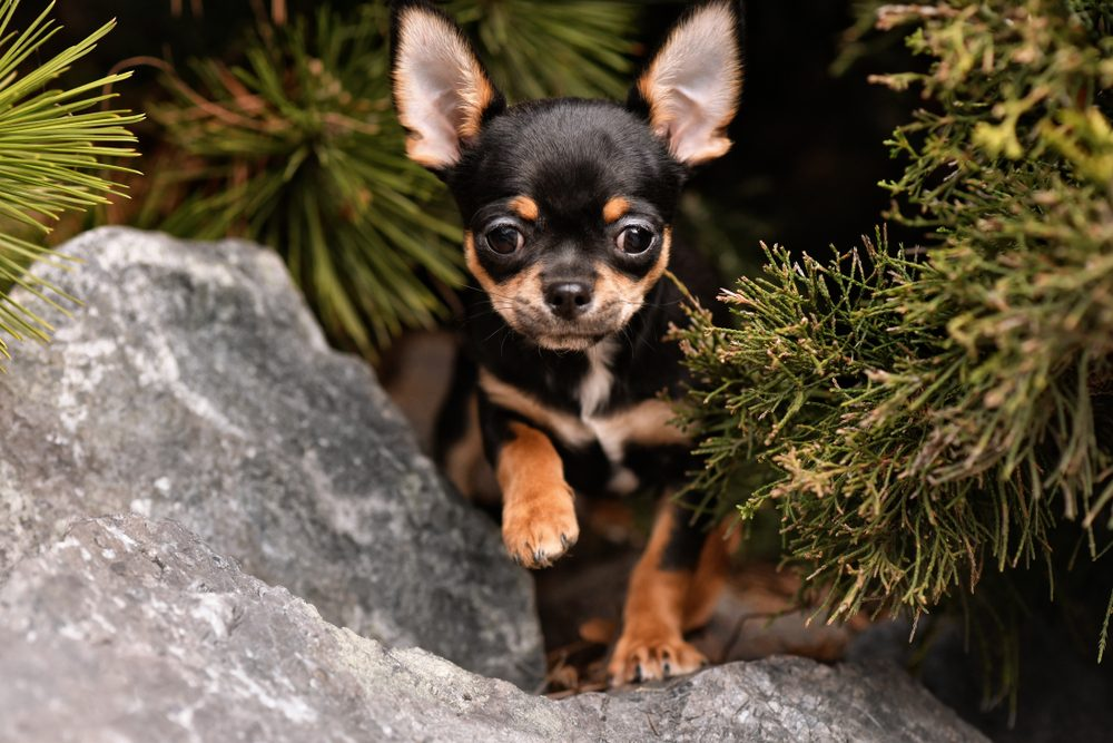 Chihuahua puppy. Beautiful dog