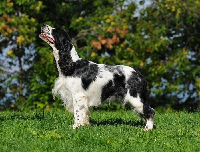 close up of the head of a liver and white working type english springer spaniel pet gundog