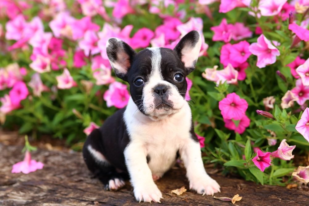 French Bulldog puppy sitting in front of flowers