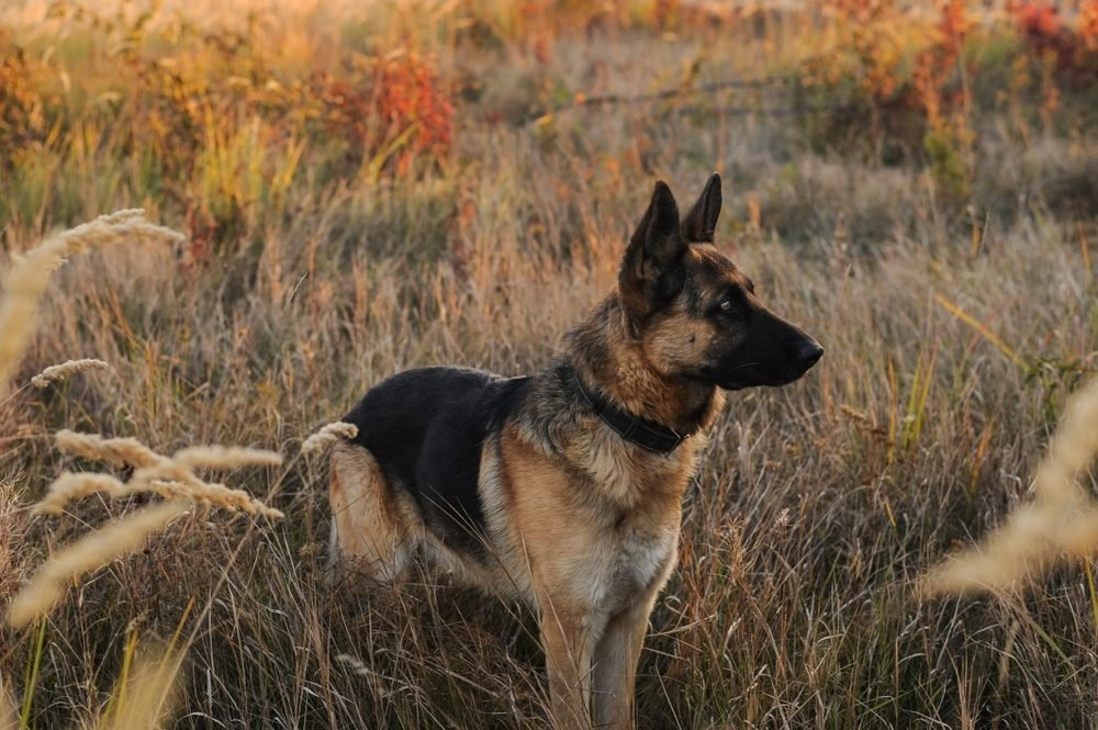 Wary German Shepherd Dog - a beautiful strong dog, walking in the autumn park itself without a muzzle for dogs