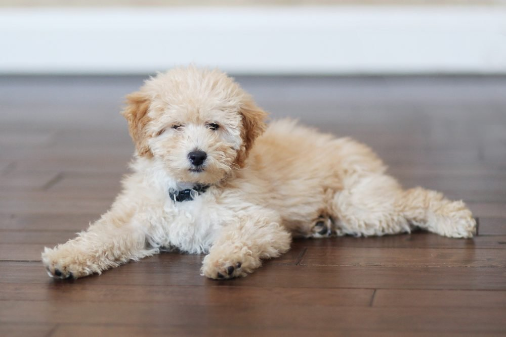 Adorable Golden Doodle Puppy Dog peacefully relaxes watching