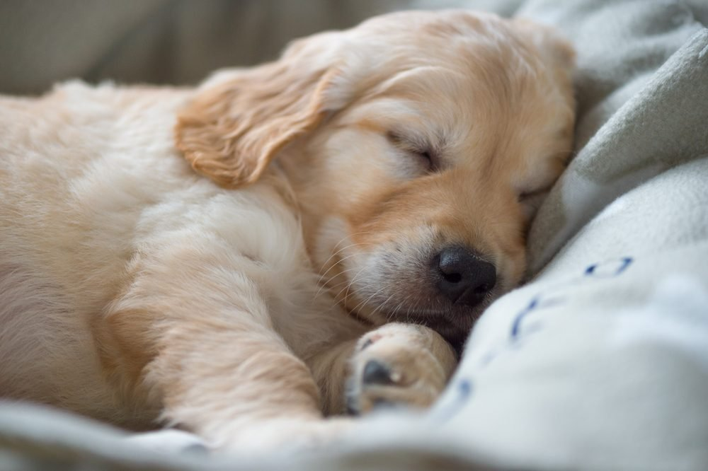 Portrait of a sleeping Golden Retriever puppy, lying on a cozy blanket. Close up.