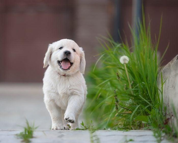happy puppy of golden retriever