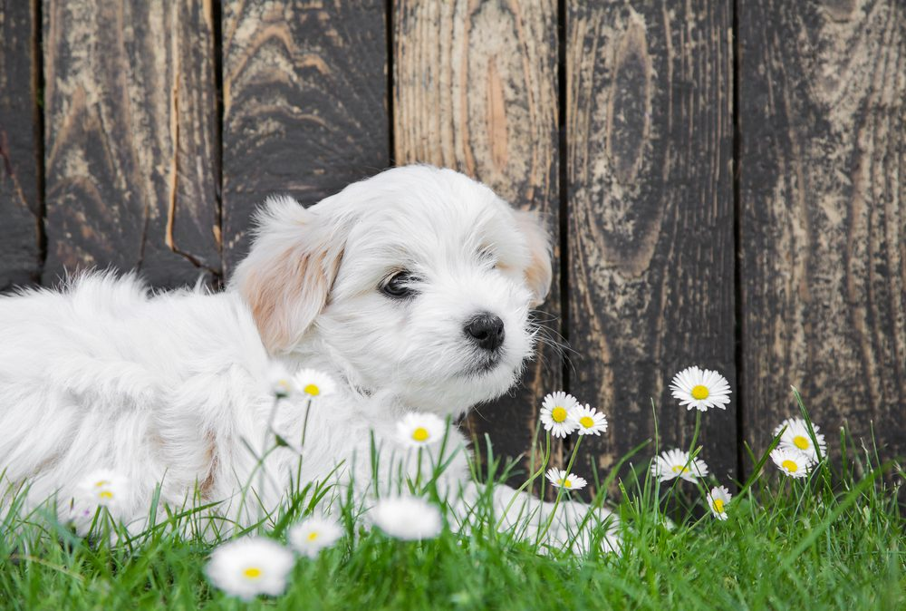 Cute little dog - greeting card idea with wooden background in summer. Maltese pup.