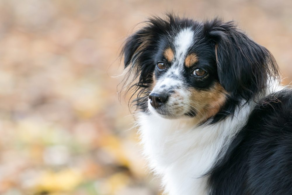 Nala the Miniature Australian Shepherd, portrait