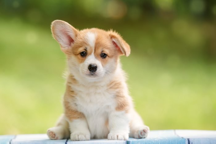cute puppy Pembroke Welsh Corgi with one ear standing up outdoor in summer park