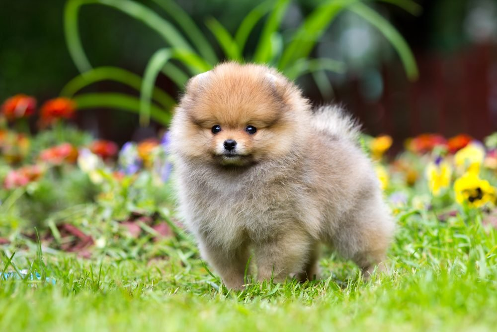 Portrait of a little fluffy Pomeranian puppy