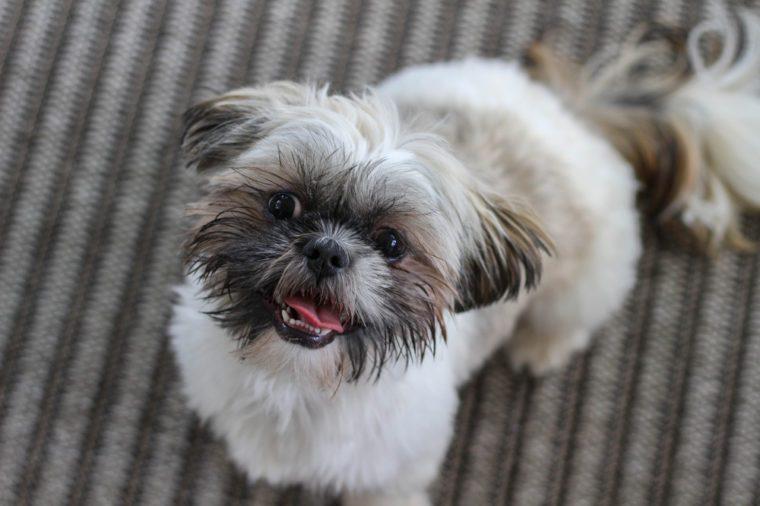 Shi Tzu dog looking up