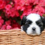 Can You Guess the Dog Breed Based on its Puppy Picture?