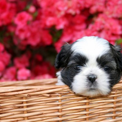 A cute little Shih Tzu puppy in a basket with a blooming Azalea bush as the background.