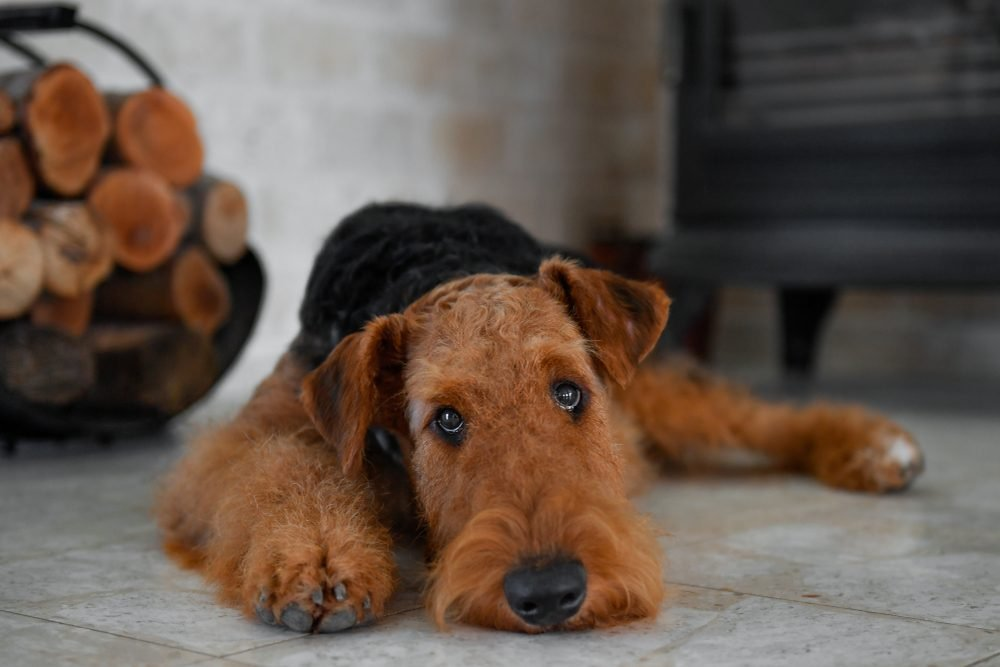 Airedale Terrier dog (puppy 8 month old), in the interior of the house (by the fireplace and woodpile)