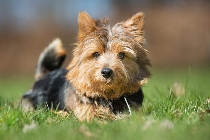 A purebred Yorkshire Terrier dog without leash outdoors in the nature on a sunny day.
