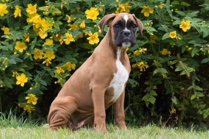 Red and White Boxer Dog puppy playing in garden