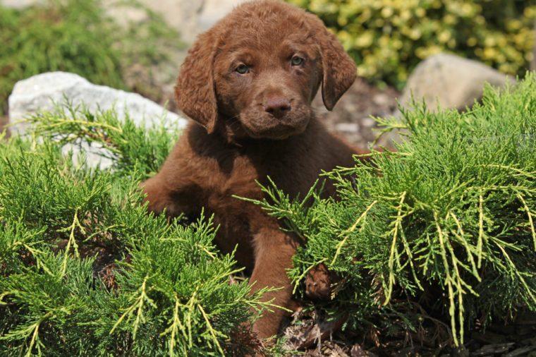 Nice chesapeake bay retriever puppy lying in the garden