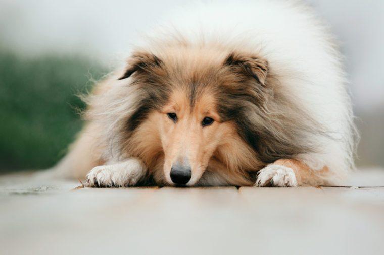 The Rough Collie dog close up portrait