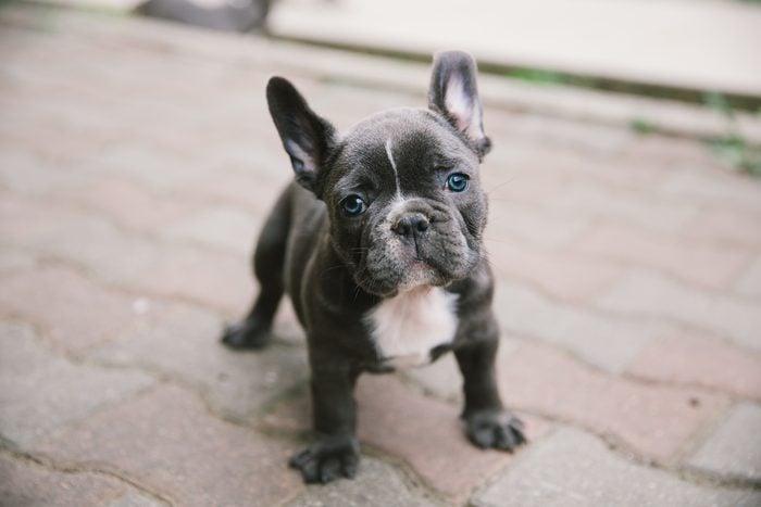 Adorable french bulldog puppy.