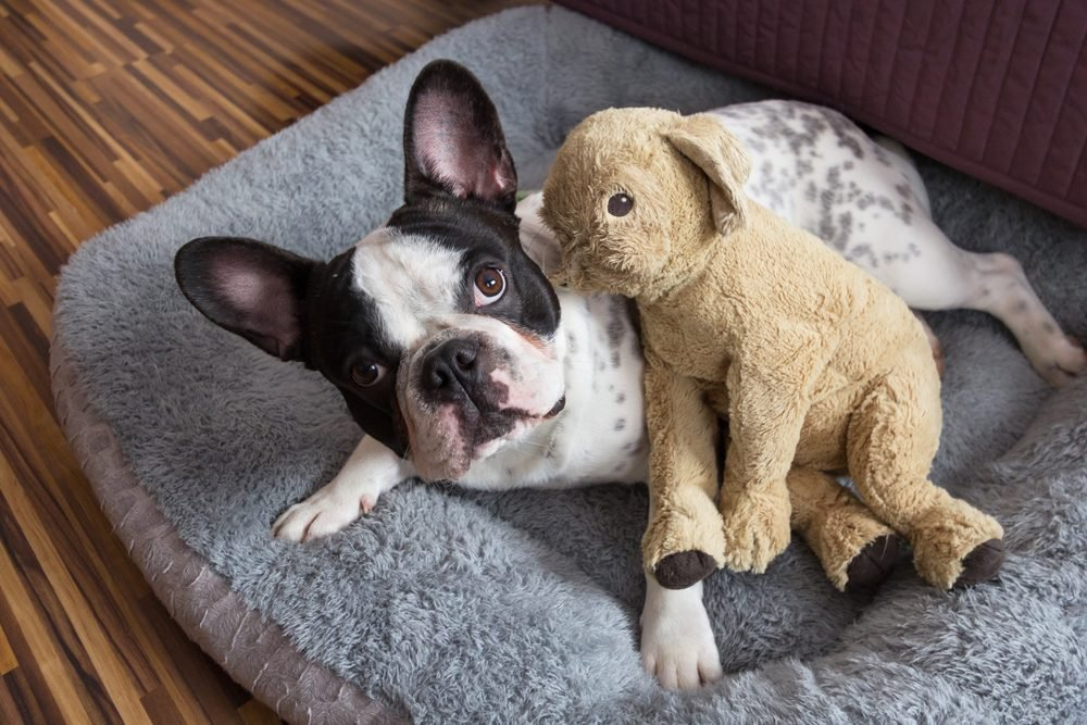 French bulldog with teddy bear