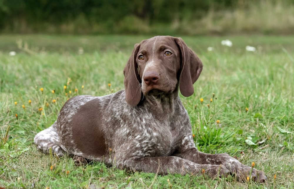 german shorthaired pointer, german kurtshaar one spotted puppy lying on green grass, looking straight into the eyes, intelligent look and sweet dog, in the mouth grass, close-up portrait