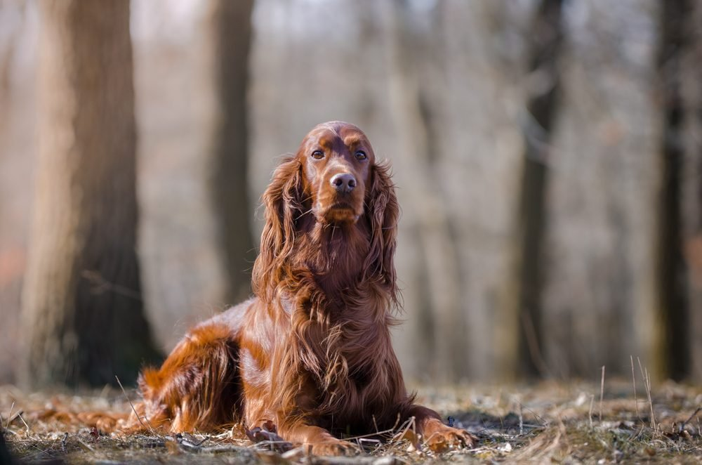 Irish setter hound dog in the winter forrest
