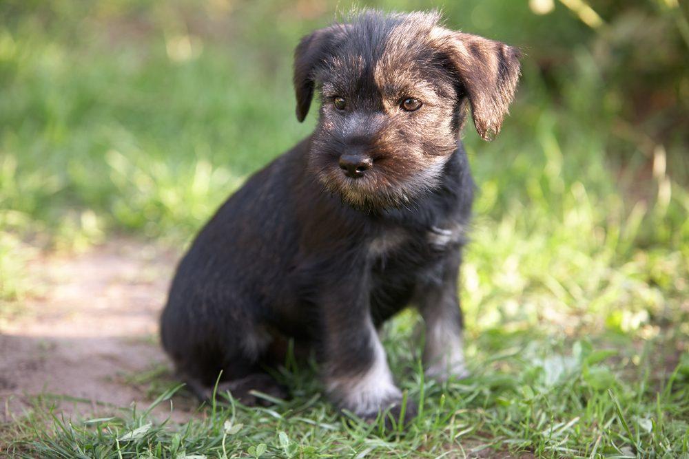 Mittelschnauzer puppy. Mittel Schnauzer pup sit on green grass