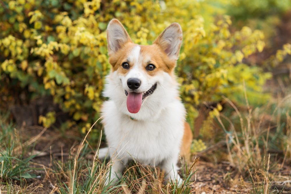 Beautiful dog pembroke welsh corgi among yellow leaves, portrait