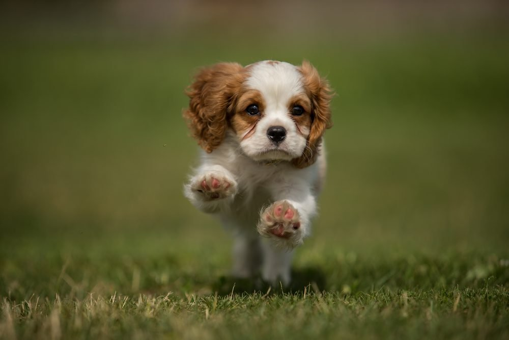Running cavalier king charles spaniel puppy from front