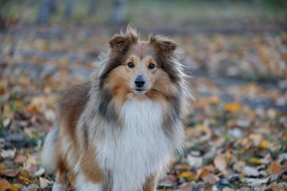 Sable shetland sheepdog puppy is standing in the autumn park. Shetland collie or sheltie. Close up. Pet animals.