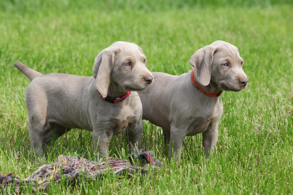 Two puppies weimaraner