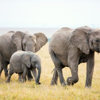 How Smart Are Elephants Really?