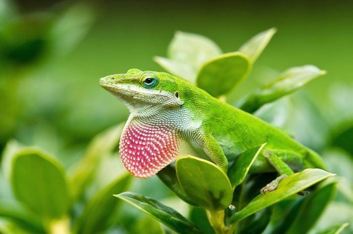 Green Anole lizard (Anolis carolinensis) showing off his bright pink dewlap