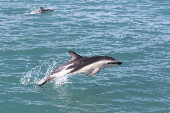 hector's dolphin rare