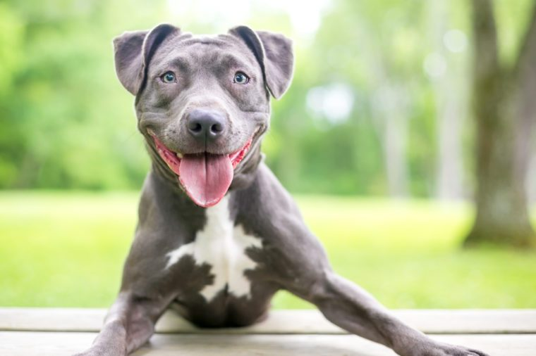 A happy blue and white Pit Bull Terrier mixed breed dog
