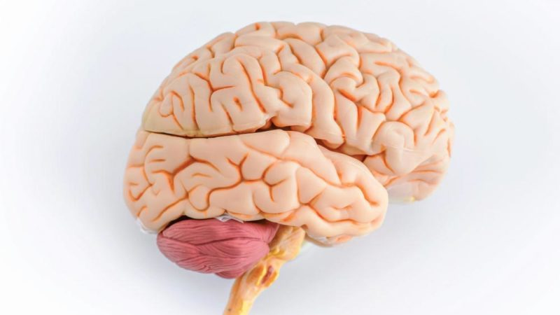 human brain view from the profile on a white background