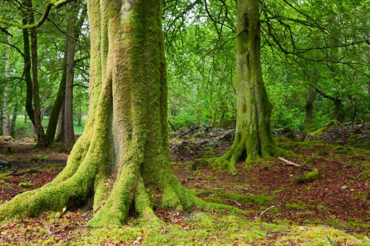 Old trees with lichen and moss in Scottish forest