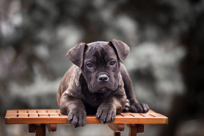 Puppy Cane Corso outdoor