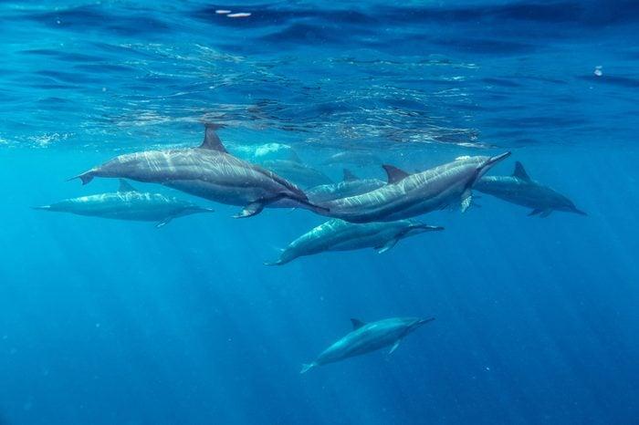 Spinner Dolphins Mauritius Indian Ocean Summer Stenella longirostris