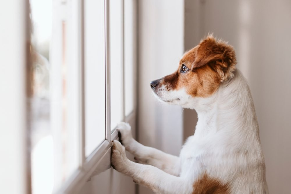 cute small dog standing on two legs and looking away by the window searching or waiting for his owner. Pets indoors