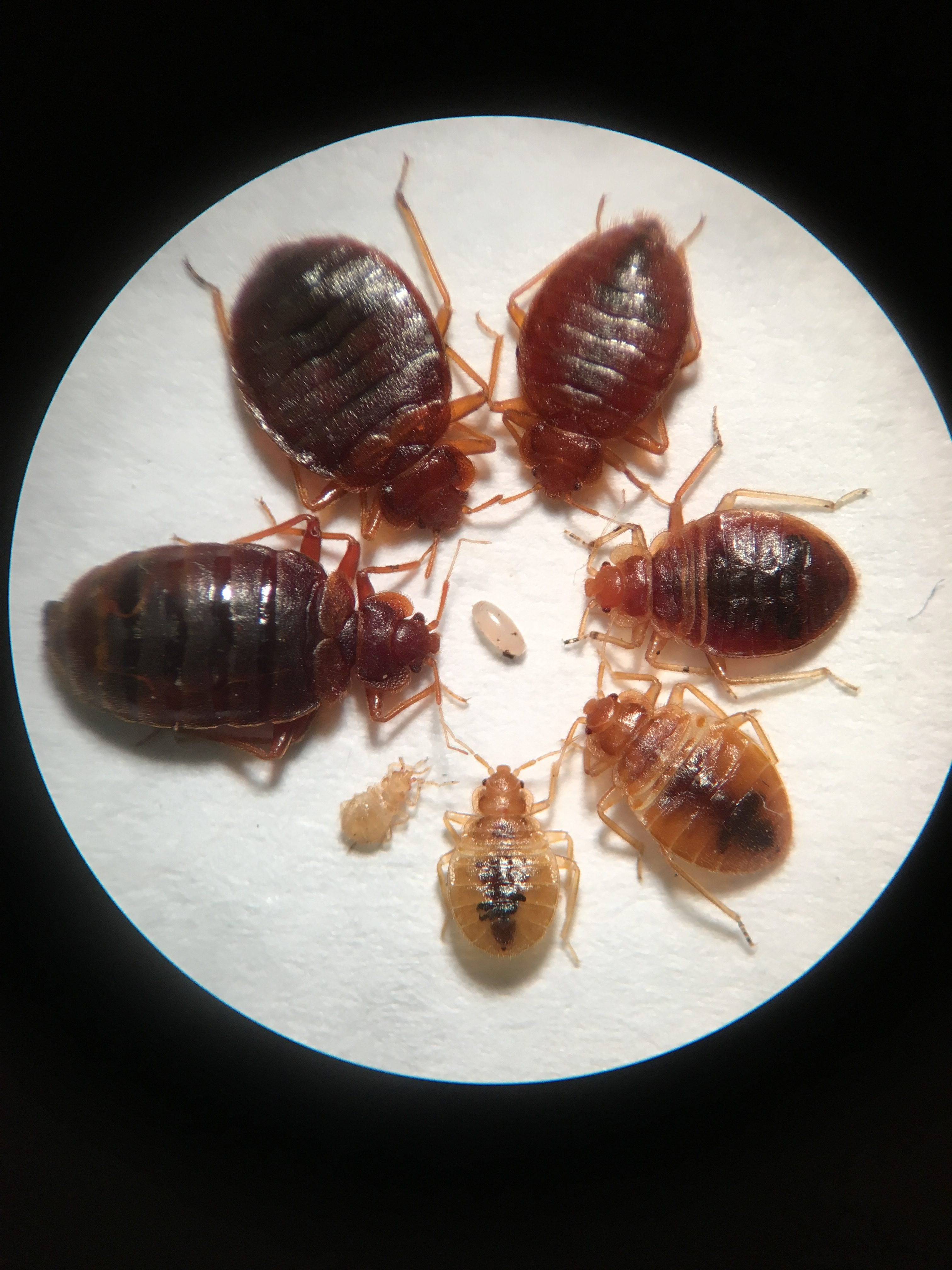 bed bugs engorged