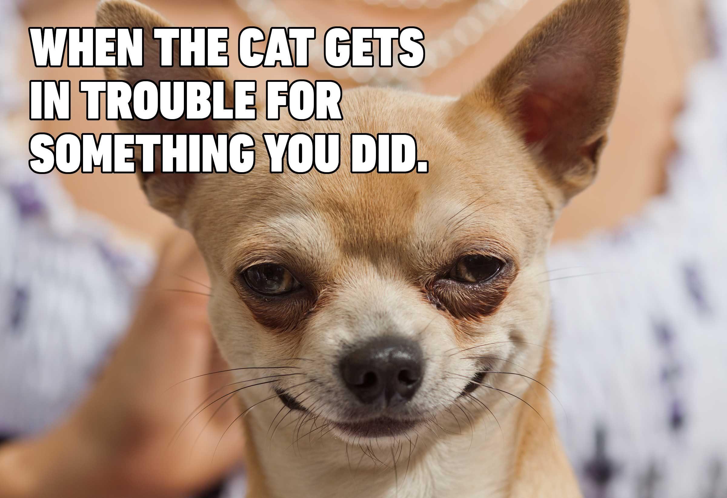 dog cat meme