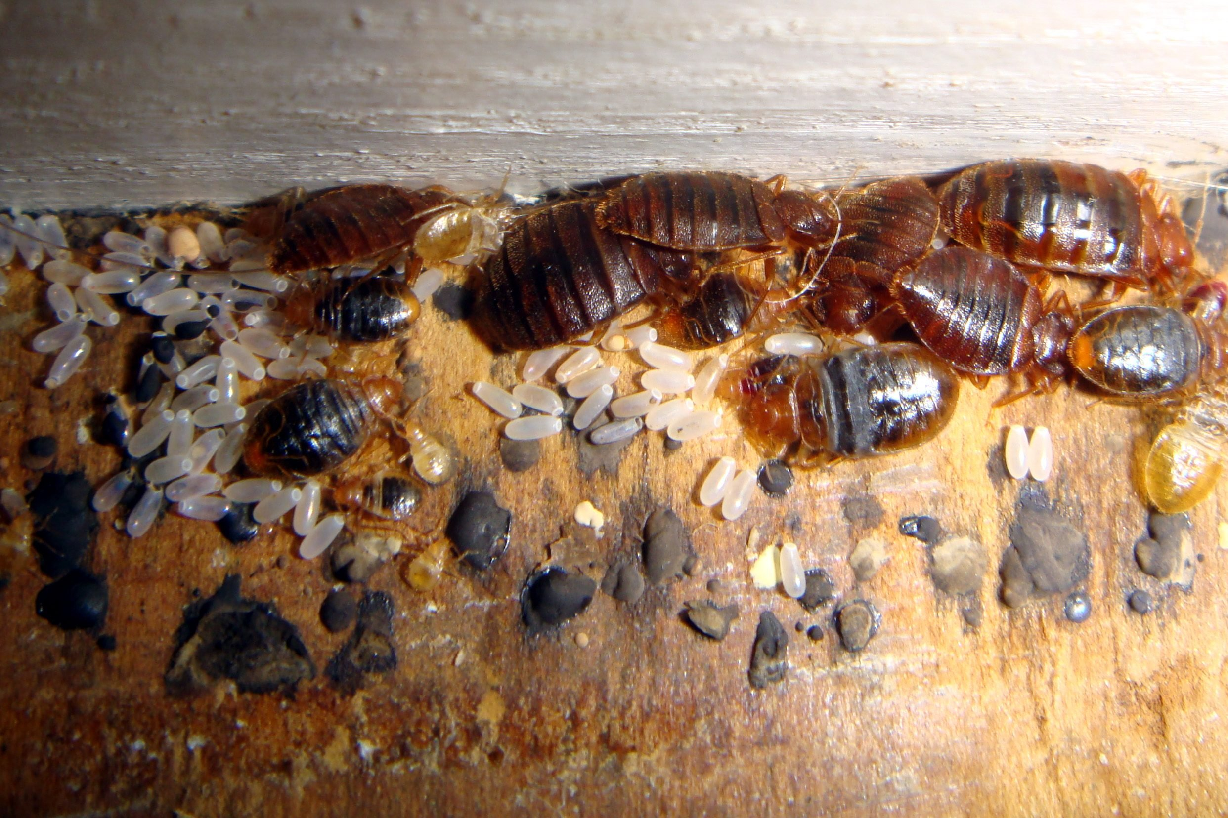 bed bugs aggregation