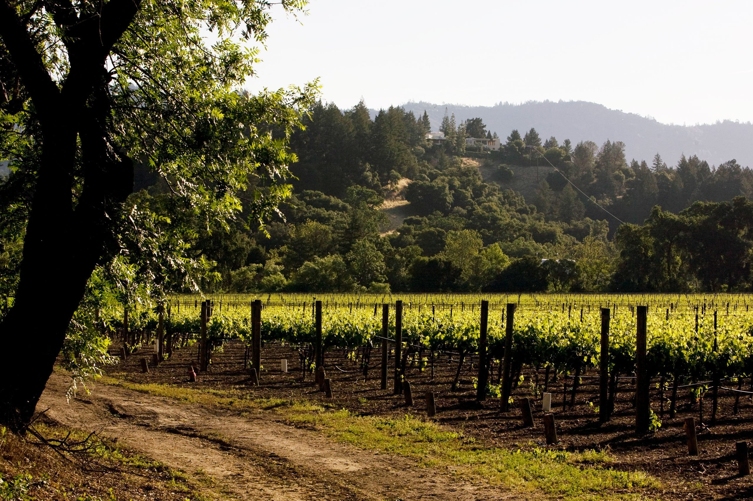 A cabernet sauvignon vineyard owned by Sterling Vineyard & Winery