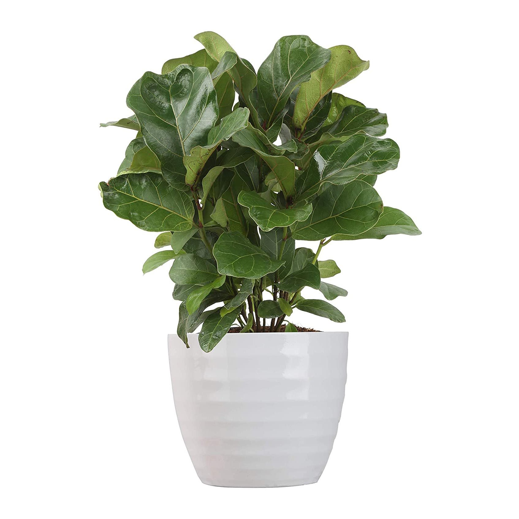 Costa Farms Ficus Lyrata Live Plant